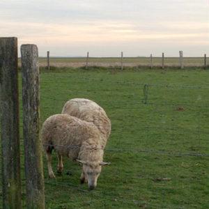 Moutons broutant dans les champs chez notre voisin de Davron
