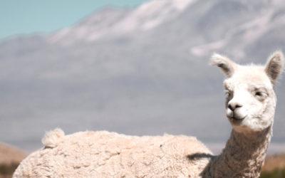Peut-on feutrer d'autres fibres que la laine de mouton ?
