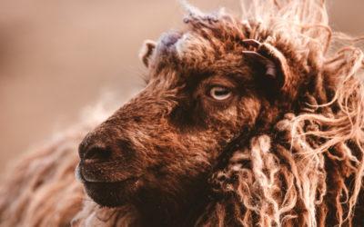 Comment différencier les qualités de laine ?